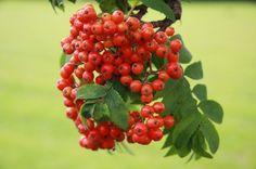 Rowan Berry Jelly Recipe