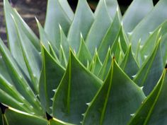 #Aloe #polyphylla