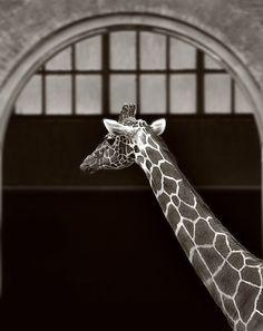 Giraffe arch window