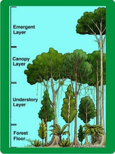 There are four very distinct layers of trees in a tropical rain forest. These layers have been identified as the emergent, upper canopy, understory, and forest floor. Rainforest Biome, Rainforest Project, Rainforest Trees, Amazon Rainforest Facts, Rainforest Classroom, Cv Web, Pseudo Science, My Father's World, Magic Treehouse