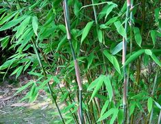 Umbrella bamboo. Clumping, best in shade 12' tall.