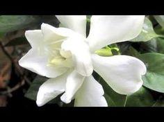 Cómo reproducir Jazmín o Gardenia por esquejes - Consejos del experto @cosasdeljardin - YouTube