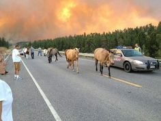 Spooked USAFA horses amble amongst motorists and spectators on I-25 outside Colorado Springs, while the Colorado wildfires of Summer 2012 blaze in the sky