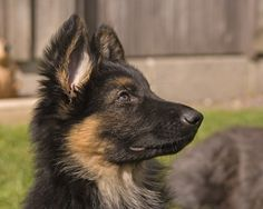 Should you get a German shepherd puppy? 11 things to know | Doggerel