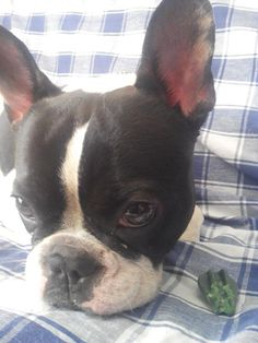 Que sueeeeño, a very sleepy Lola, the French Bulldog.