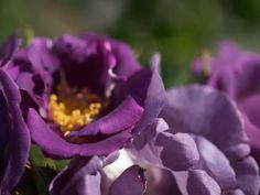 Min rosefavoritt: 'Rhapsody in Blue' - Moseplassen Rhapsody In Blue, Planting, Garden, Flowers, Compost, Plants, Garten, Lawn And Garden, Gardens