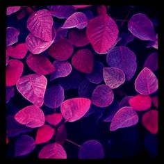 #AngelBerry Colours #Fuschia Purple Leaves