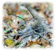 A gray squirrel foraging among the Autumn leaves that have fallen in Lake Waterford Park in Pasadena, Maryland.  I added a light vignetted border for enhancement.