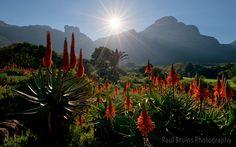 Kirstenbosch Aloe Garden | Discovered from Dream Afar New Tab