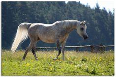 Orienta Lateefah (Farres x Ansata Azali) 2003 grey mare bred by Orienta Arabians - Kuhaylan Rodan Strain - Riyala - Malaka Family