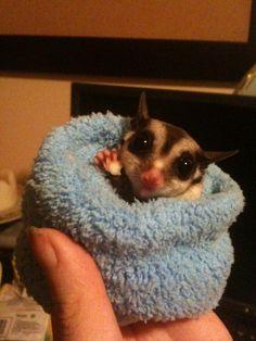 Tiny sugar glider in a sock...so fuzzy!