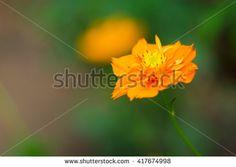 Single orange cosmos flower with nature background