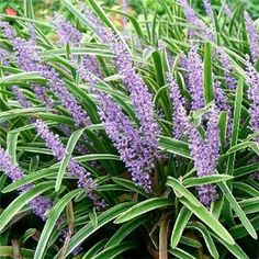 Lariope or liriope known as lilyturf or monkey grass is a tough plant for ground cover or border grass. Plants, Liriope Muscari, Shrubs, Lily Turf, Perennials, Ornamental Grasses, Variegated Liriope, Shade Plants, Shade Garden