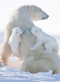 Photo: polar bears