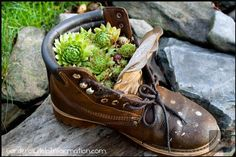 Hens and Chicks in an old work boot.