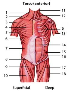 Human muscles back view worksheet coloring page from anatomy muscular system muscles of the torso quiz 1 level 1 identification muscle anatomymuscle ccuart Gallery