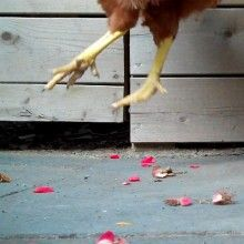 """#1 """"I LOVE the Art of Doing Stuff"""". If you love chickens you will love this video."""