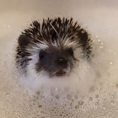 Scrub-a-dub-dub! Look who's cute in the tub! 🛁 ✨ We believe all hedgies deserve a little pampering, and Truffle is clearly enjoying his bubbly bath. Make sure to follow our friend @scribble_the_hedgehog on IG to add more adorable photos/videos to your feed! 💛