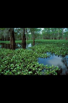 Louisiana bayou Swamp Party, Louisiana Bayou, Trees To Plant, That Way, New Orleans, Planting Flowers, Postcards, Scenery, Southern