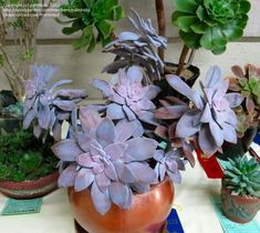 I need it, especially because it's called:  Graptopetalum Superbum