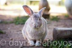 The local rabbit from Wildlife Rescue and Rehab in Kendalia, Texas