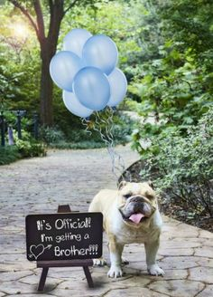 Reveal the baby's gender by attaching colored balloons to your dog's collar and announcing it on a chalkboard message.