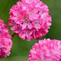 Armeria maritima (Sea Thrift) is a compact, low-growing evergreen perennial with attractive, pink to white, round clusters of tiny flowers born atop slender stalks that rise well above the foliage in mid spring to early summer. Rose Companion Plants, Companion Planting, Pink Lady, Ground Cover Flowers, Perennial Ground Cover, Blue Fescue, Mediterranean Plants, Buy Plants, Flowers