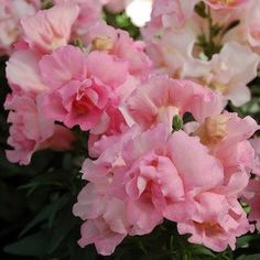 Twinny Rose Snapdragons - Annual Flower Seeds - TWINNY SERIES Snapdragon Seeds 'Twinny' snapdragons produce large, gorgeous, double 'butterfly' type flowers that are perfect for cutting. The exceptionally weather tolerant plants perform beautifully in both heat and rain. Growing to 12 inches tall, 'Twinny' Snapdragons are excellent in containers, color bowls, raised beds, or the landscape.   $2.49