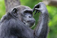 Chimpanzé au Congo. http://www.lonelyplanet.fr/article/les-10-pays-visiter-en-2015 #chimpanzé #singe #congo #afrique #voyage #2015 #bestof