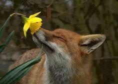 Spring = Fox + daffodil!