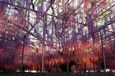 Mind Blowing Displays of Wisteria at Ashikaga Park