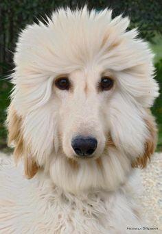 Afghan puppy.