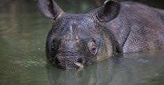 Rare video of critically endangered Javan Rhinos!