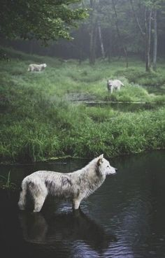 Three Wolves photography animals nature wolf wildlife wilderness #naturephotography