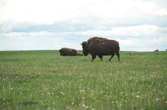 Buffalo :)