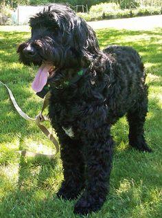 Finn the Portuguese Water Dog