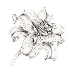 white stargazer lily - Google Search