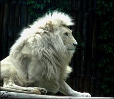 Just watch a documentary on the White Lions on National Georgraphic Channel not to long ago, very interesting.