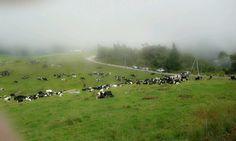 Desa Cattle (Sabah) Dairy Farm Sdn. Bhd. in Kundasang, Sabah