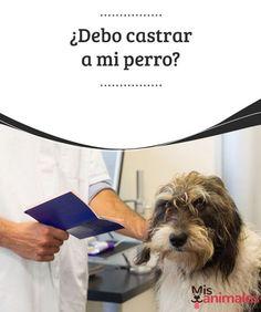 ¿Debo castrar a mi perro?  Para tomar la decisión de castrar a tu perro, infórmate primero con profesionales que puedan aportarte datos certeros sobre el tema. #castrar #perro #consejos #información