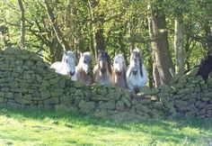 Highland Ponies staying contently behind a chest-high stone wall. Pony Breeds, Horse Breeds, Horses And Dogs, Mini Horses, Highland Pony, Welsh Pony, Scottish Castles, Clydesdale, Beautiful Horses