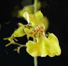 Oncidium Auriferum | Oncidium che richiedono condizioni climatiche diverse a seconda del ...