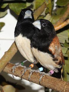 Lonchura teerinki - Black-breasted Munia
