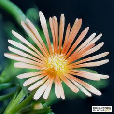 Learn how to grow and care for Ice Plant (Delosperma). Tips for which varieties are most cold hardy, how to plant and how to care for Ice Plant in fall. High Country Gardens, Arizona Gardening, Ice Plant, Sensory Garden, Gardening Zones, Sun Garden, Drought Tolerant Plants, Fall Plants