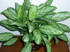 Chinese Evergreen Plant- An easy care accent plant. Best Indoor Plants, Indoor Garden, Potted Plants, Garden Plants, Bamboo Garden, Shade Plants, Chinese Plants, Natural Air Purifier, Citrus Trees
