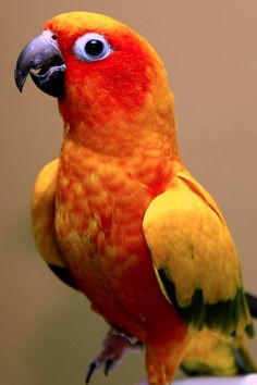 The Sun Parakeet or Sun Conure (Aratinga solstitialis) is a medium-sized brightly colored parrot native to northeastern South America.