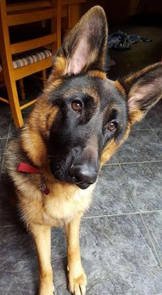 Things we admire about the loyal German Shepherd Dog #germanshepherddad #germanshepherdpuppylife