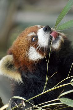 Baby Puppies, Cute Puppies, Red Panda Cute, Baby Animals, Cute Animals, Pictures Of Insects, Cat Boarding, Spirit Animal, Animals Beautiful