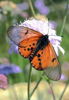 **Butterfly, Botanical Garden, South Africa -- by andiwolfe Butterfly Photos, Butterfly Kisses, Butterfly Flowers, Beautiful Bugs, Beautiful Butterflies, Moth Caterpillar, Bugs And Insects, Beautiful Creatures, Pet Birds