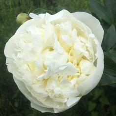 Massive #white #paeonia in spring gardens. #rhs #walks #castle #tourism #capabilitybrown #view #dogwalking #dogfriendly